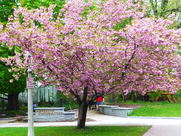 Flowering tree in the park during the Lilac Festival!