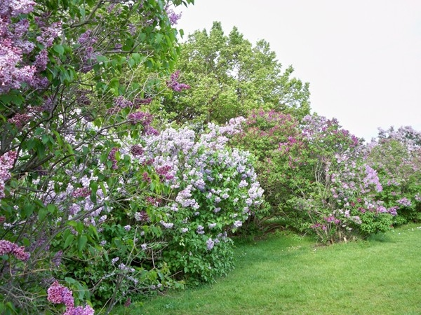 Lilacs galore in Highland Park during the annual Lilac Festival