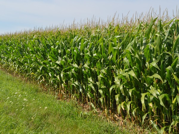 Fields have grown and the farmers are almost ready to harvest the corn all around Clinton County