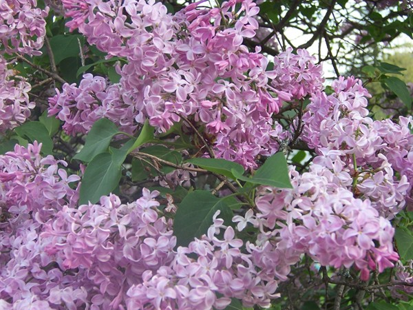 Lilacs up close in Highland Park during the Annual Lilac Festival