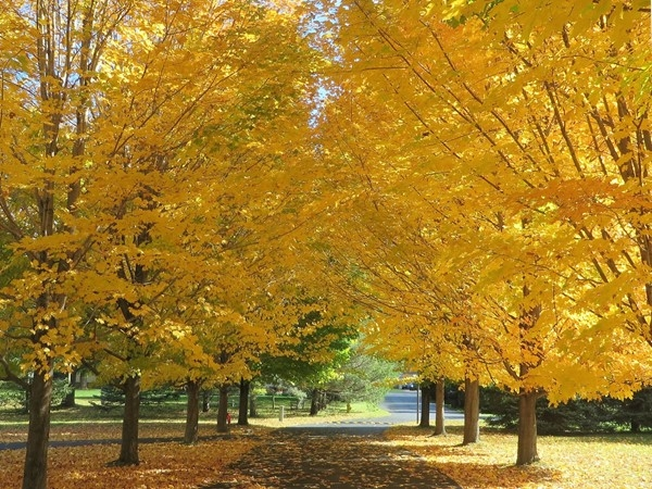 Maples showing their golden leaves in Octorber in Penfield