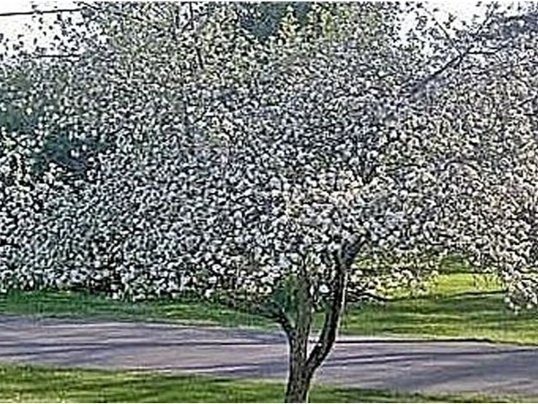 My apple trees are in full bloom