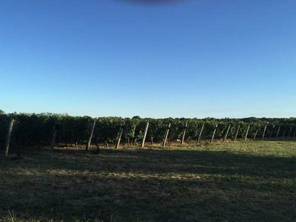 Wine Vineyards of the North Folk