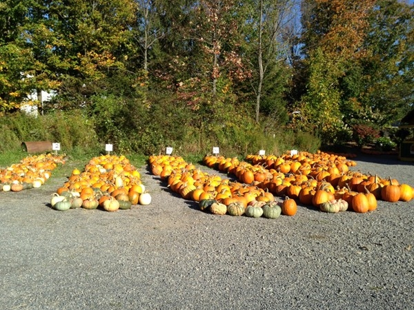 Quite a selection of pumpkins this year at Our Farm on Peth Road