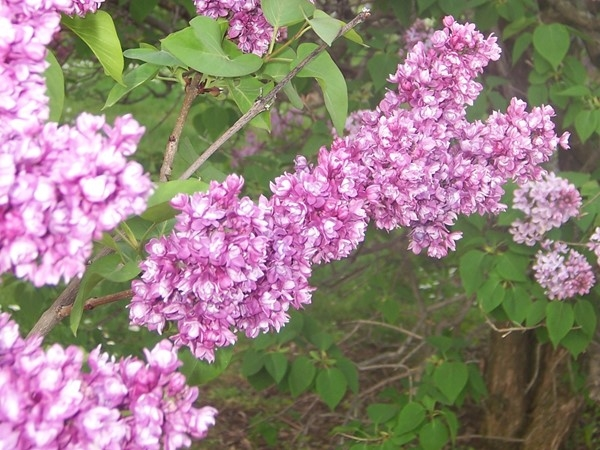 Beautiful, delicate lilac flowers with a wonderful aroma in Highland Park