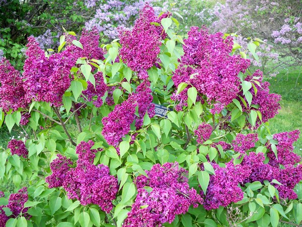 Beautiful lilacs in Highland Park in May