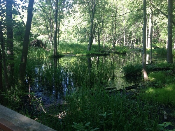 More hidden wonder at Baehre Swamp in Amherst - along The Boardwalk