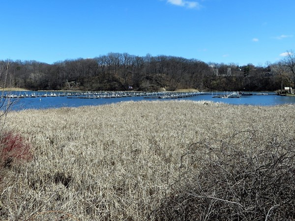 Water reeds at the south end of Irondequoit Bay which provide home for the white swans