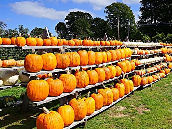 Endless supply of pumpkins to chose from The Milk Pail Farm