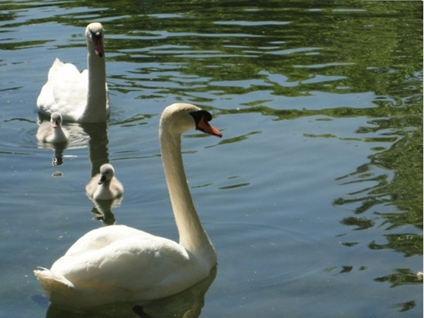 This year's swan family at the Swan Pond in Manlius