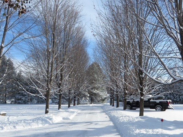 Avenue of Maple trees in early winter in Graham Creek Heights