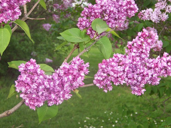 Beautiful delicate lilac flowers with their wonderful aroma in Highland Park in May