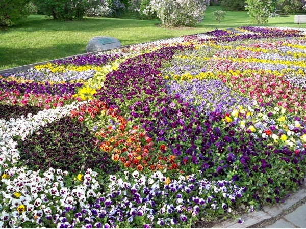 Colorful pansies in Highland Park