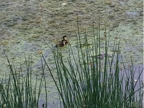 Baby geese saved by local patrons released into Rings Pond