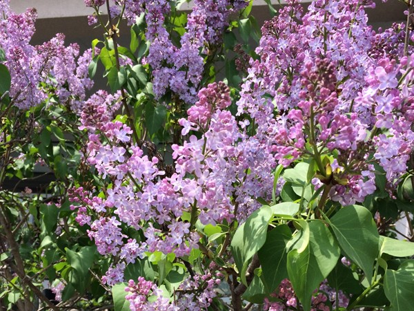Lilacs in bloom all around Rochester! Plant some in your own yard for amazing beauty and fragrance!