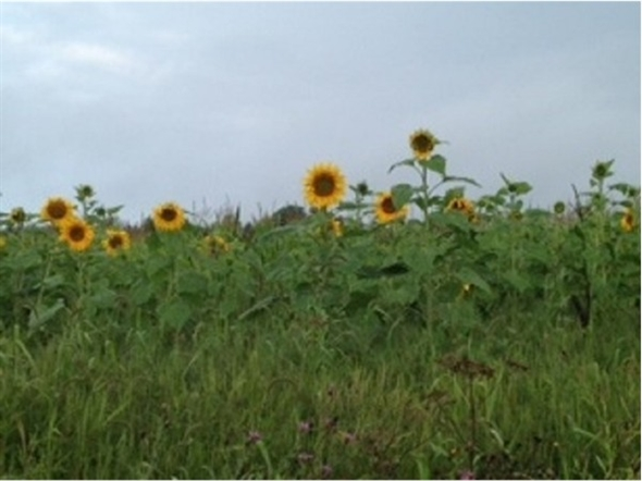 sunflower field picture blooming - photo #29