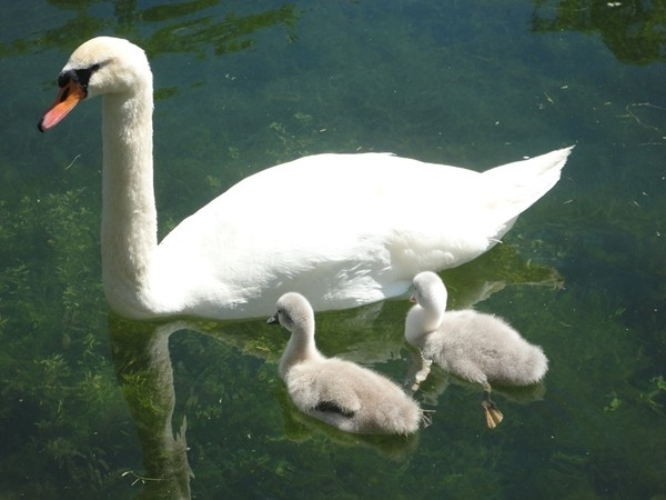 Mama swan and her two chicks on the Swan Pond in Manlius, NY