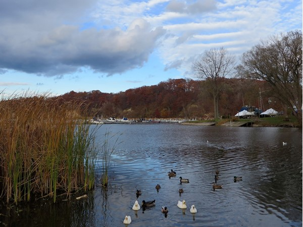 White Swans and Mallard Ducks at the south end of Irondequoit Bay