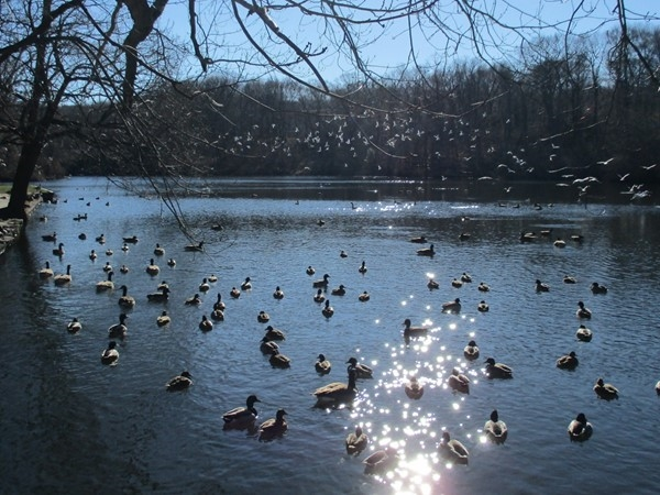 Duck pond across from Stony Brook historic Grist Mill