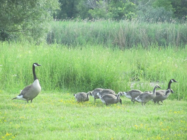 New family of Canadian geese making a temporary home at Jamesville Grove