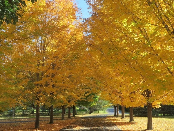 The maple trees along a driveway in Graham Creek Heights subdivision forming a canopy last fall