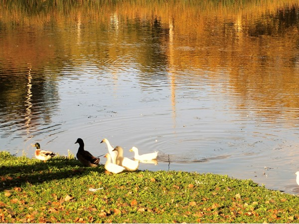White swans and ducks in Irondequoit Bay