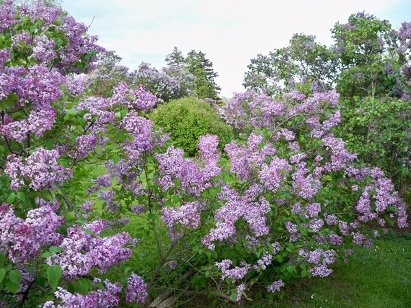 Lilacs in full bloom in Highland Park in May