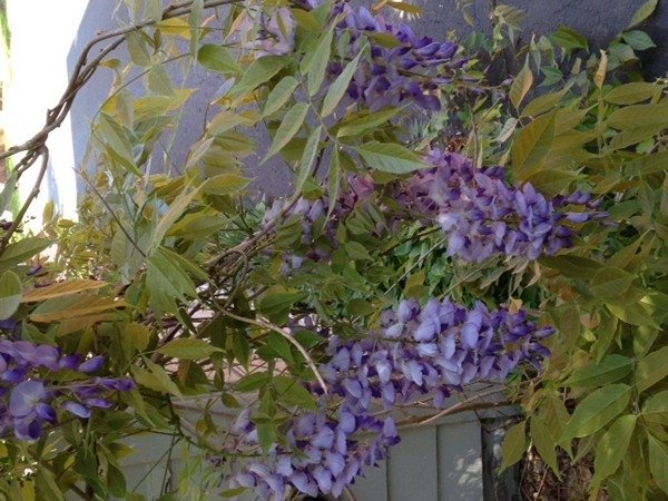 Wisteria blooming is a beautiful signal for summer