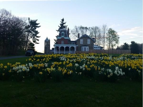 Daffodils at dusk at Oakwood Cemetary