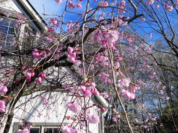 Beautiful spring blossoms on a Weeping Cherry tree in Graham Creek Heights