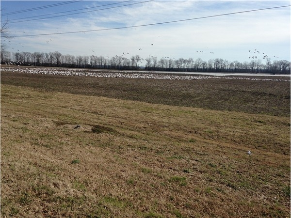 A few of the millions of Snow Geese in the Delta fly away.  A beautiful sight