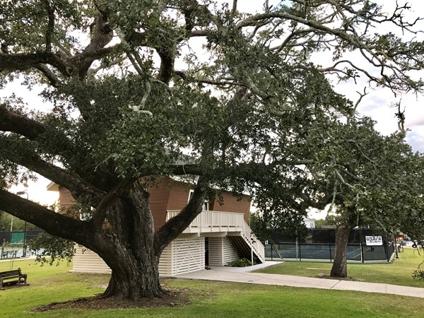 Ancient Oaks in Downtown Pass Christian