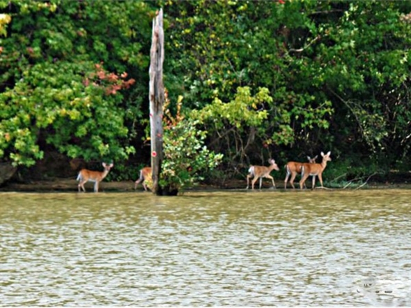 Deer on the Tenn-Tom Waterway bank in early fall