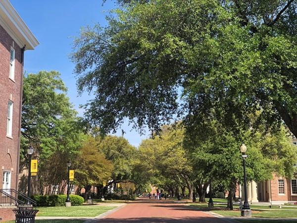 Beautiful oak trees line the sidewalks at USM