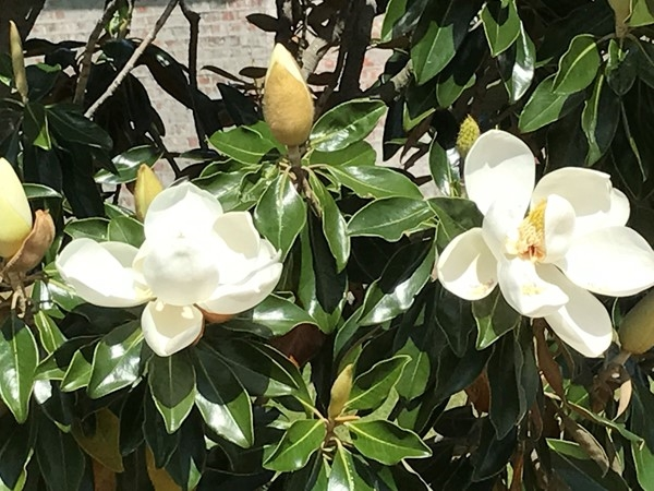 Mississippi's state flower, Magnolias, are blooming