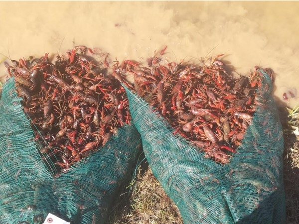 Wellsgate Lake received 1,000 lbs of crawfish in April. They were released to improve fishing
