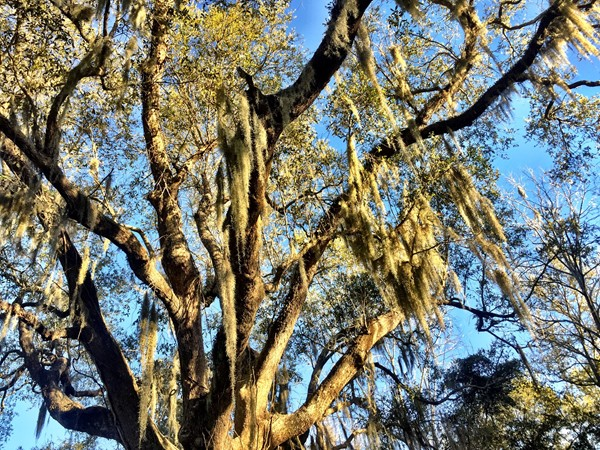 Gorgeous and majestic live oak trees are found throughout Hancock County