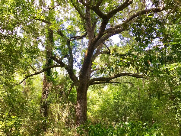 Live oaks are plentiful on this former homesite