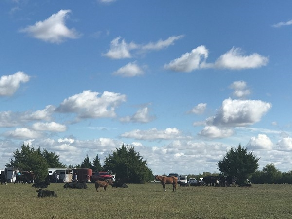 Horses and cows lazily grazing